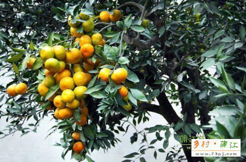蒲江柑橘-让人吃了还想吃!